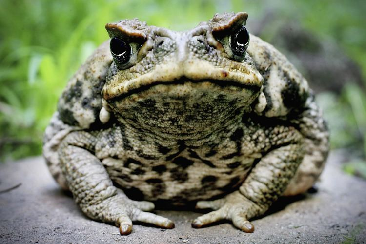 Cane toad Cane Toad Lessons TES Teach