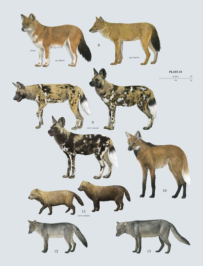 Canidae Family Canidae Dogs Lynx Edicions