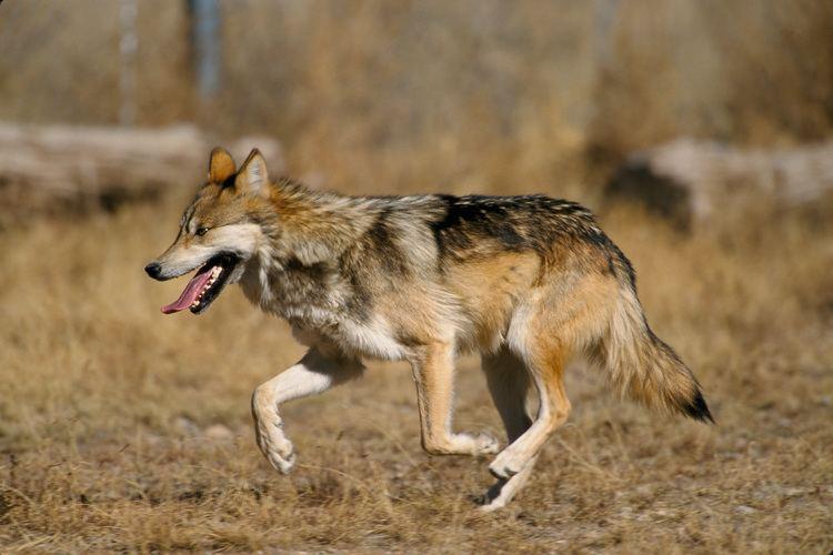 Canis FileCanis lupus baileyi runningjpg Wikimedia Commons