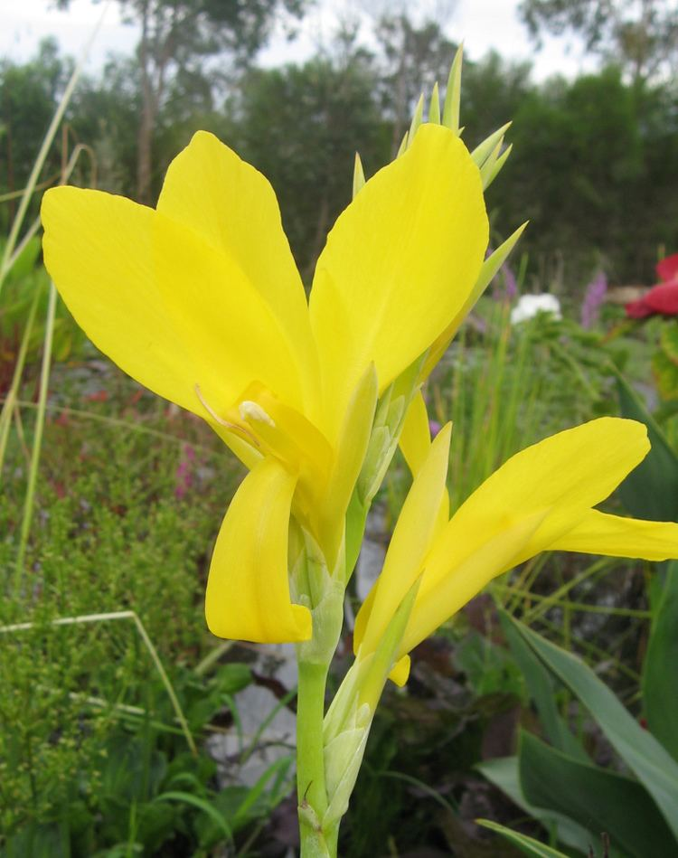 Canna glauca Canna glauca Bright Yellow Wallis Creek Watergarden
