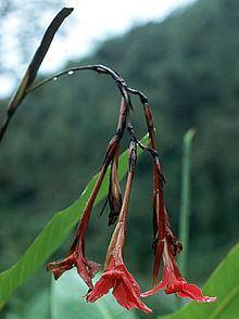 Canna iridiflora httpsuploadwikimediaorgwikipediaenthumb1