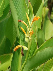 Canna jaegeriana httpsuploadwikimediaorgwikipediacommonsthu