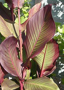 Canna (plant) Canna plant Wikipedia