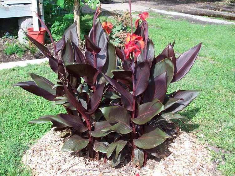Canna (plant) How many of you plant canna
