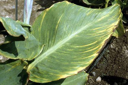 Canna virus Canna virusesRHS Gardening