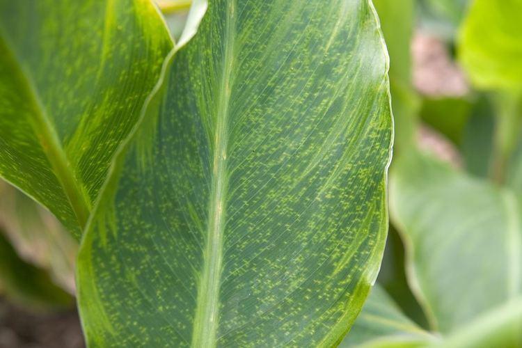 Canna virus Plant problems canna virus gardenersworldcom