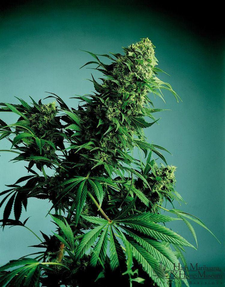 Cannabis indica Cannabis Indica Hash Marihuana amp Hemp Museum