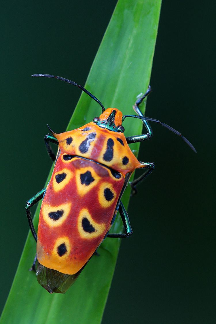 Cantao ocellatus Creature of the Month Shield Bug Bugs amp Insects of Singapore