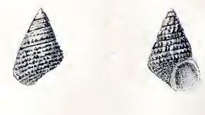 Cantharidus pulcherrimus