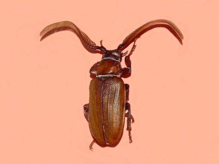 Cantharocnemis antennatus
