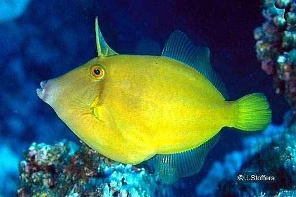 Cantherhines dumerilii Cook Islands Biodiversity Cantherhines dumerilii Barred Filefish