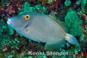 Cantherhines dumerilii Barred Filefish Cantherhines dumerilii