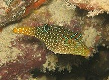 Canthigaster papua httpsuploadwikimediaorgwikipediacommonsthu