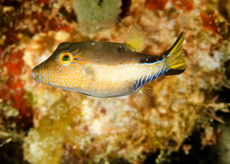 Canthigaster rostrata Photos of Pufferfishes family Tetraodontidae
