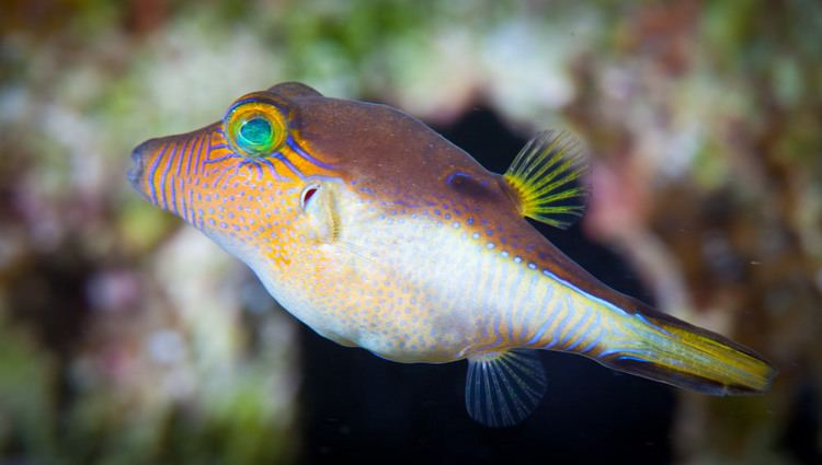 Canthigaster rostrata Sharpnose Pufferfish Canthigaster Rostrata This tiny fis Flickr