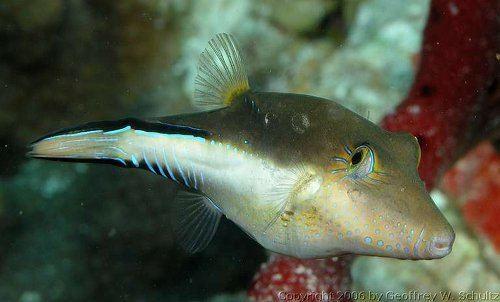 Canthigaster rostrata Canthigaster rostrata Caribbean sharpnosepuffer