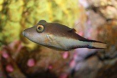 Canthigaster rostrata httpsuploadwikimediaorgwikipediacommonsthu