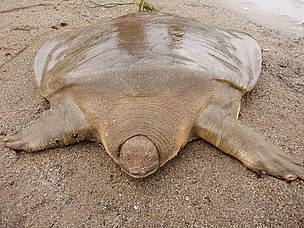 Cantor's giant softshell turtle Cantor39s Giant Softshell Turtle Pelochelys cantorii