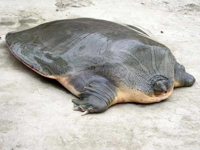 Cantor's giant softshell turtle wwwthebiologistapprenticecomuploads2180218