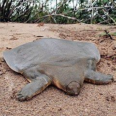 Cantor's giant softshell turtle Cantor39s giant softshell turtle Wikipedia