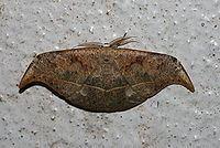 Canucha specularis httpsuploadwikimediaorgwikipediacommonsthu