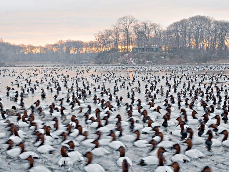 Canvas Back Duck movie scenes Picture of canvasback ducks at dawn on the Chesapeake Bay Maryland