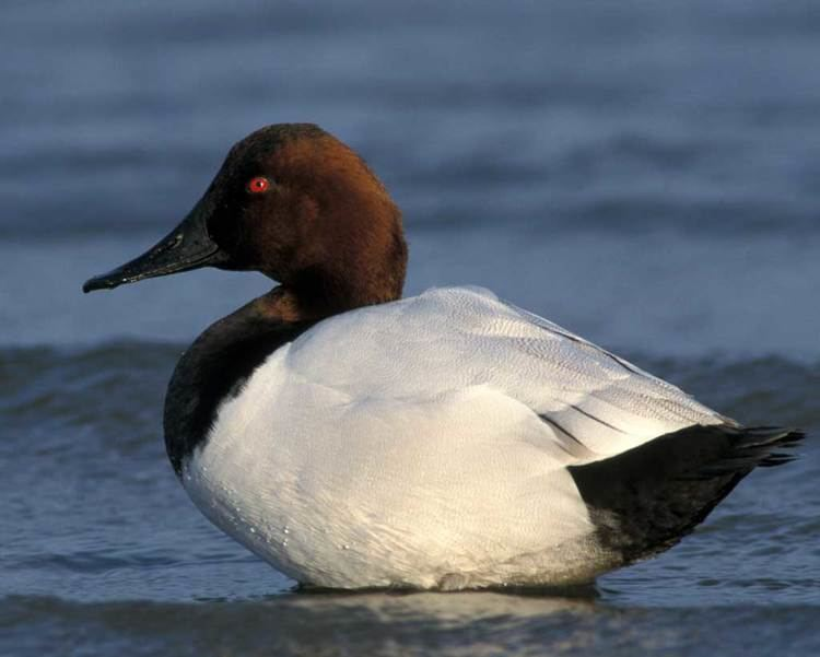 Canvasback Canvasback Audubon Field Guide