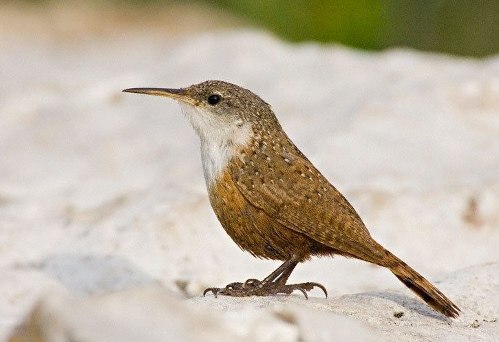 Canyon wren Canyon Wren Catherpes mexicanus