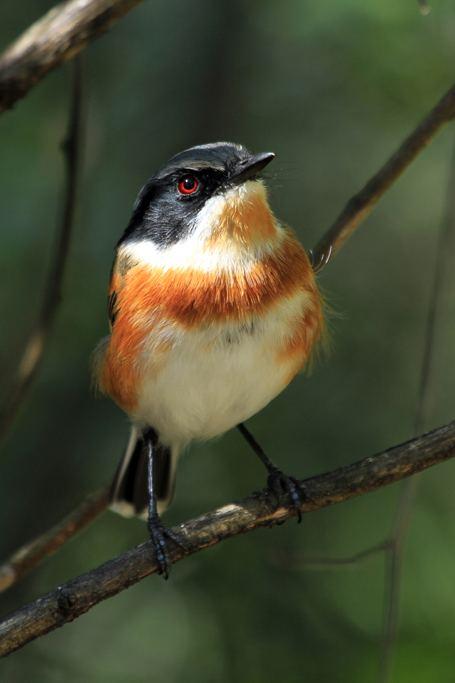 Cape batis Cape Batis Bird amp Wildlife Photography by Richard and Eileen Flack