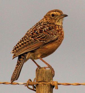 Cape clapper lark Western Cape Birding