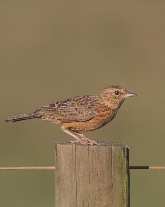 Cape clapper lark BirdsEye Photography Review Photos