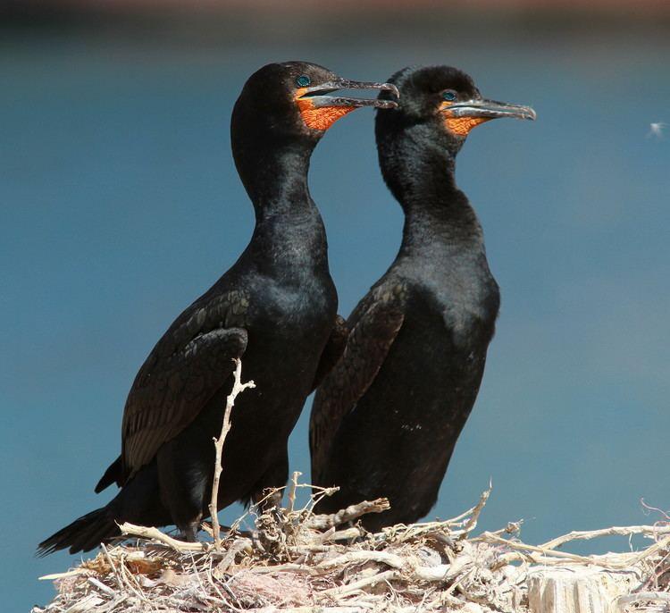 Cape cormorant Pinterest The world39s catalog of ideas