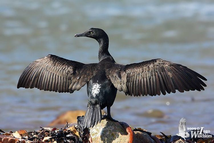 Cape cormorant Whitebreasted Bank and Cape Cormorant