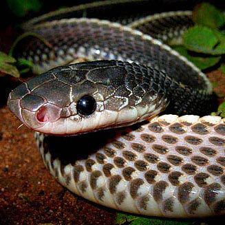 Cape file snake Mehelya capensis Southern file snake Cape file snake