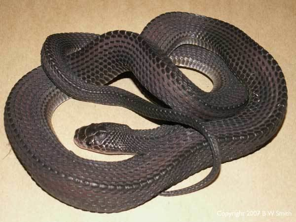Cape file snake SAReptiles View topic Cape File Snake photos
