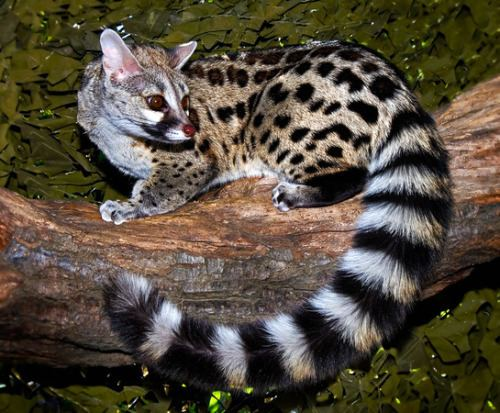 Cape genet 1000 images about Genets and hyraxes on Pinterest Capes Baileys