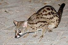 Cape genet Cape genet Wikipedia