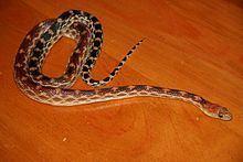 Cape gopher snake httpsuploadwikimediaorgwikipediaenthumbb