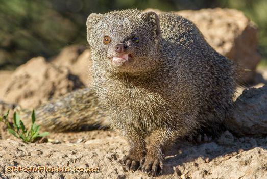 Cape gray mongoose Otto39s Adventure Cape Grey Mongoose