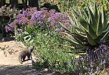 Cape gray mongoose httpsuploadwikimediaorgwikipediacommonsthu