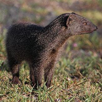 Cape gray mongoose Galerella pulverulenta Cape grey mongoose