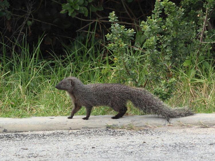 Cape gray mongoose Cape Grey Mongoose WhatSpecies
