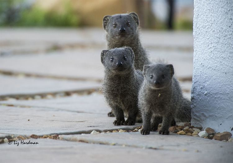 Cape gray mongoose Grey Mongoose Nature on the Edge