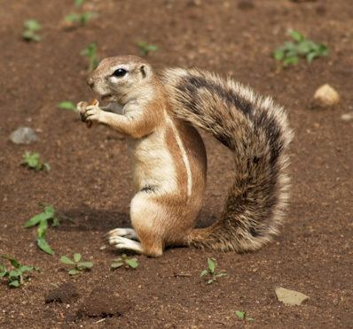 Cape ground squirrel The News For Squirrels Squirrel Facts The Cape Ground Squirrel