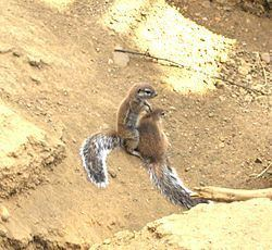 Cape ground squirrel Cape Ground Squirrel Xerus inauris Details Encyclopedia of Life