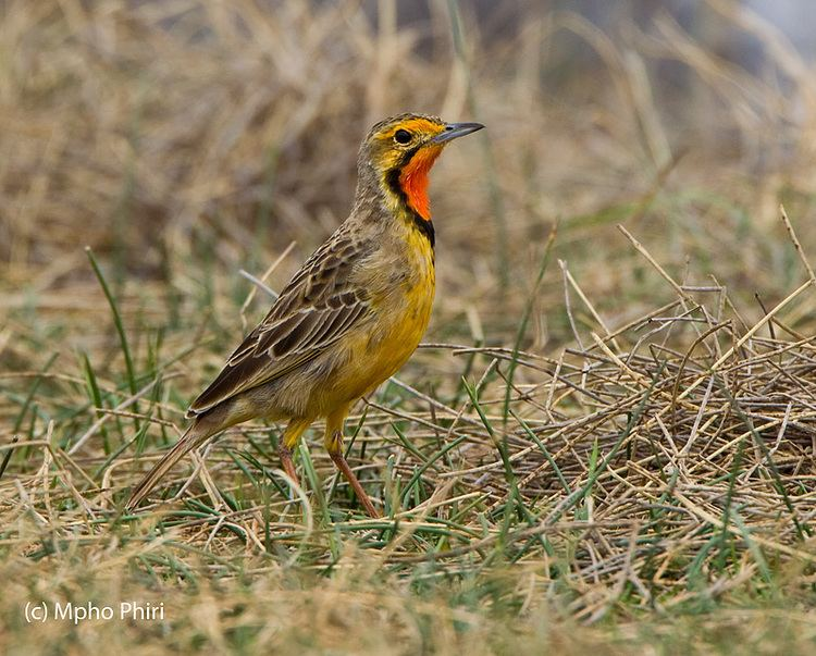 Cape longclaw Mahikeng Birding Blog Cape Longclaw The bird with bright orange bib