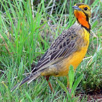 Cape longclaw wwwbiodiversityexplorerorgbirdsmotacillidaeim