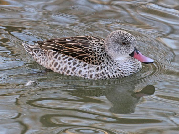 Cape teal FileCape Teal RWD3jpg Wikimedia Commons