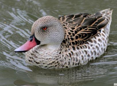 Cape teal Wildfowl Videos Anas Capensis Cape Teal Video Wildfowl Photography