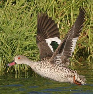 Cape teal Anas capensis Cape teal